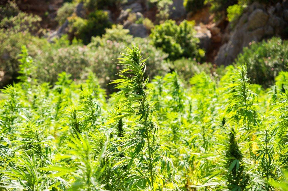 cannabis-2773112.jpg