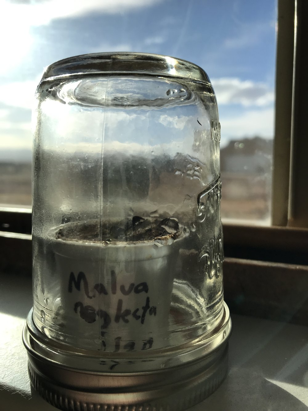 1/20:  Malva neglecta  seeds in a K-Cup Terrarium on a sunny windowsill.