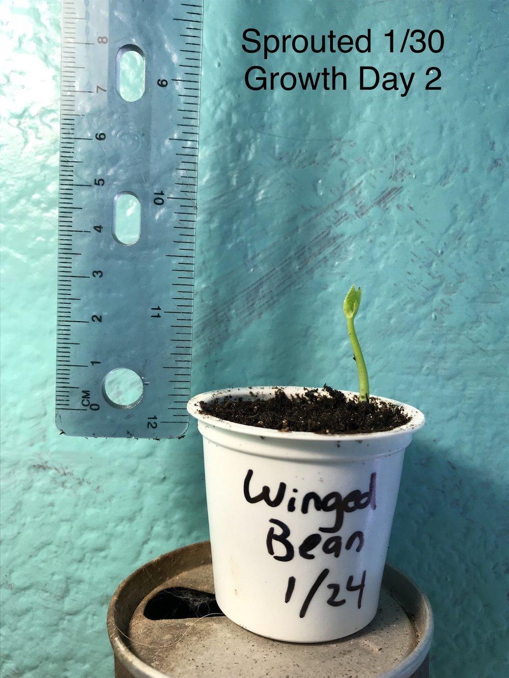 Winged Bean.jpg
