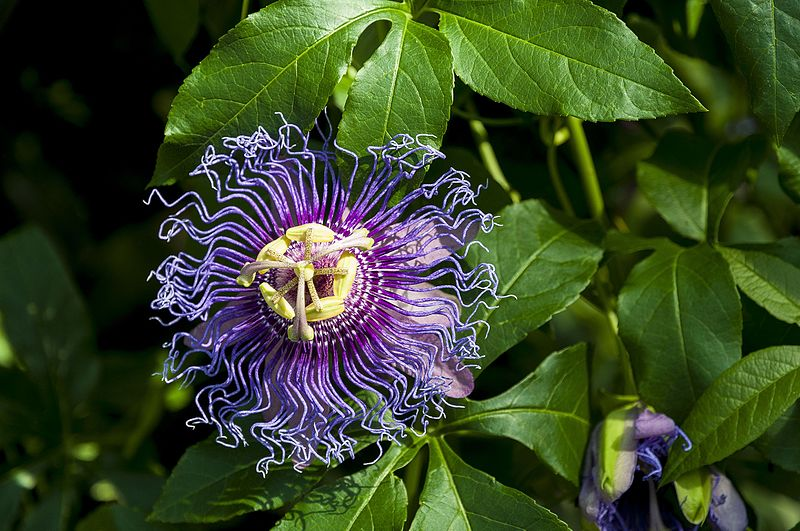 Passion Fruit - COLD HARDY and NATIVE passion fruit