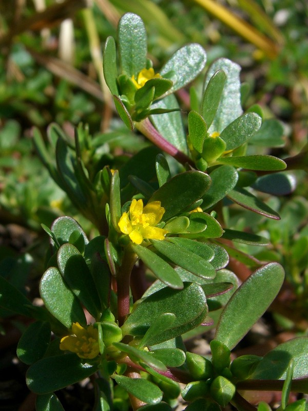 Purslane - A NUTRITIONAL POWERHOUSE