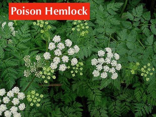 Poison Hemlock 2.jpg