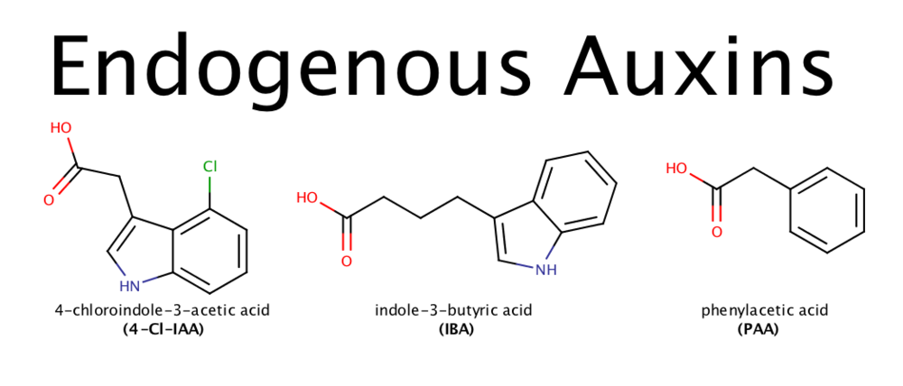 Image 2: 4-chloroindole-3-acetic acid (4-Cl-IAA), indole-3-butyric acid (IBA) and phenylacetic acid (PAA): three plant-produced auxins with similar structure and function to that of IAA.