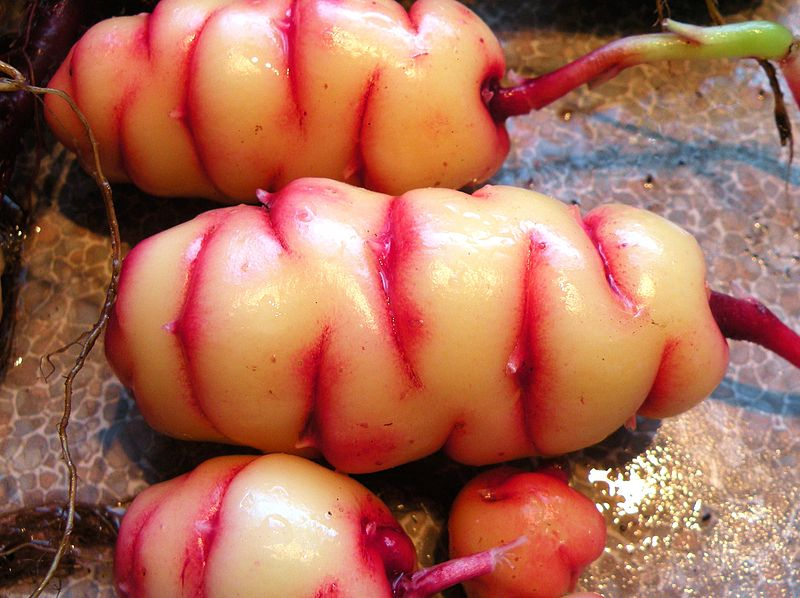 archive of strange and unusual food plants pull up your plants rh pullupyourplants com