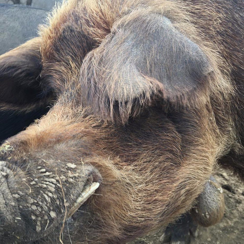 8 year old Fil our red wattle boar, he came with the nutty pig stock we bought from Chuck and Janie Held.