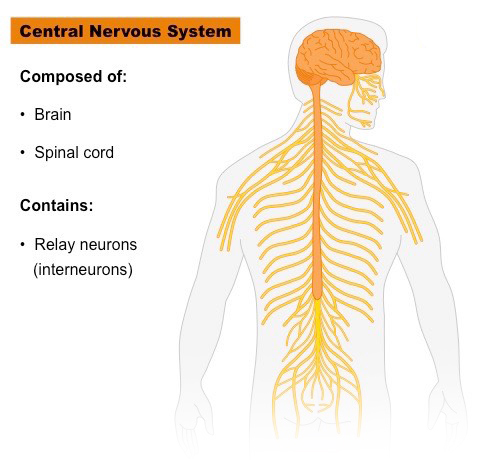 central nervous sytem photo