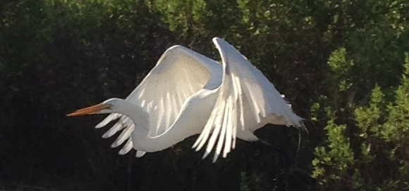 I snapped this blind one morning on my walk near my home in St. Augustine. I love the translucenty in the wings.