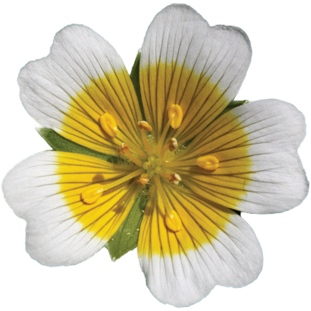 MEADOWFOAM FLOWER.png