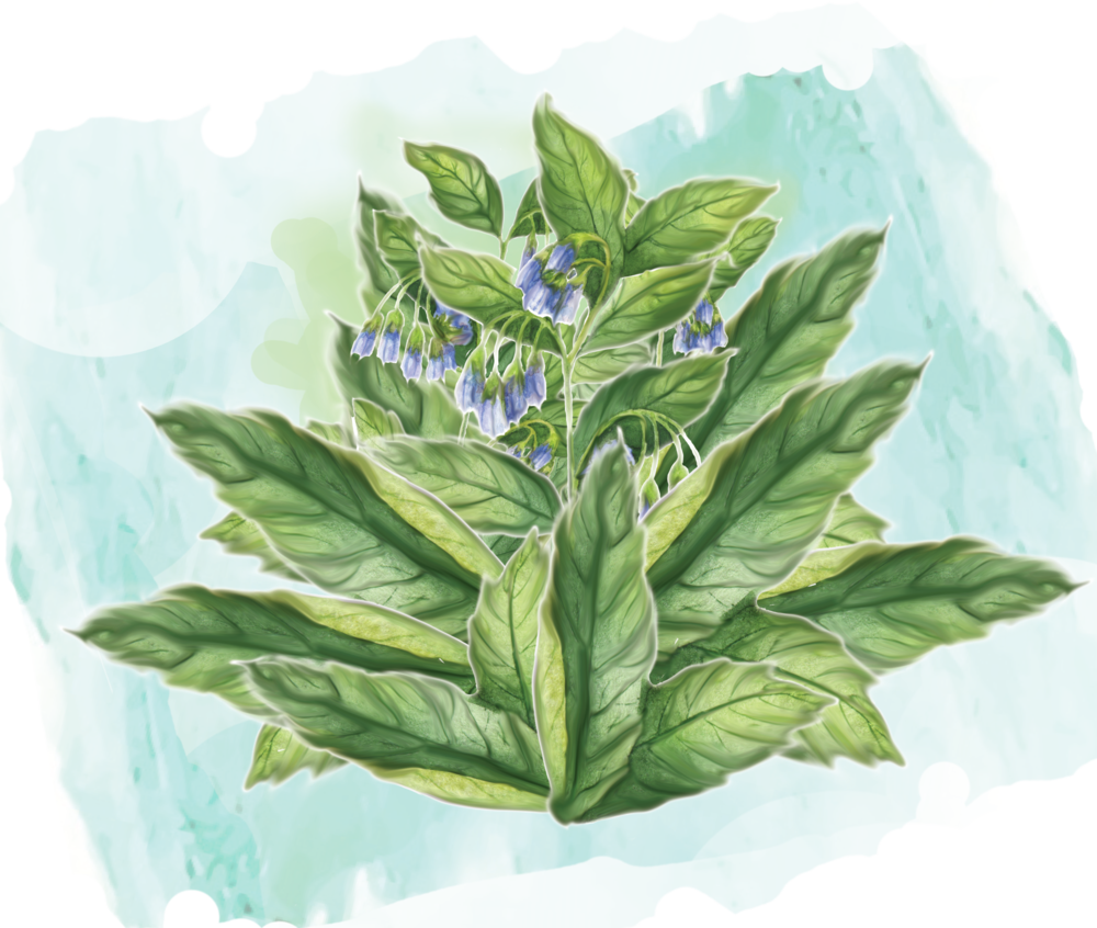 comfrey water color effect.png
