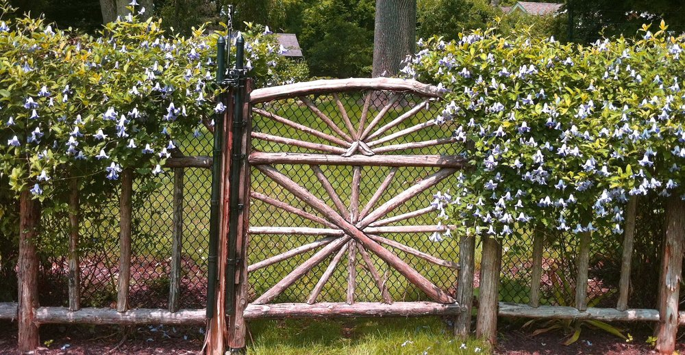 Clematis 'Betty Corning' on garden gate