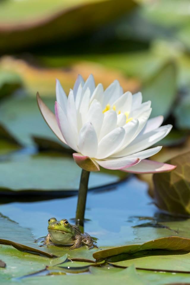 frog lotus