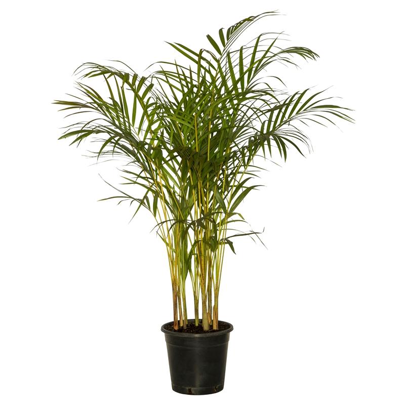 Golden Cane Palm - POA