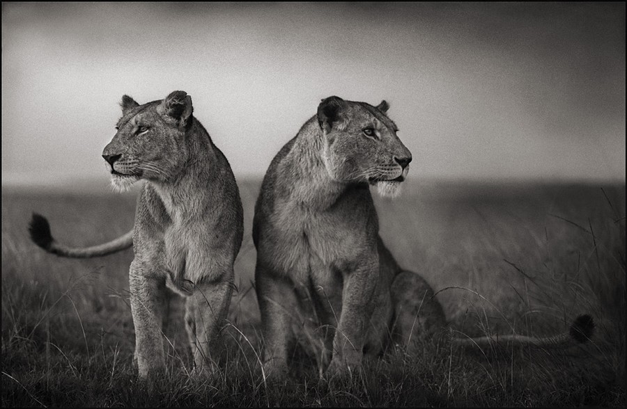 Lionesses nick brandt