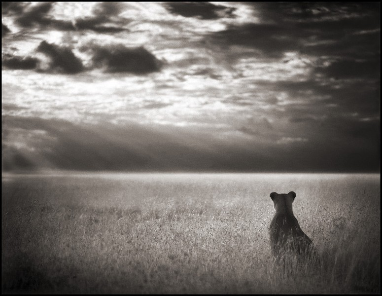 Lioness looking over the plains -- maasai mara