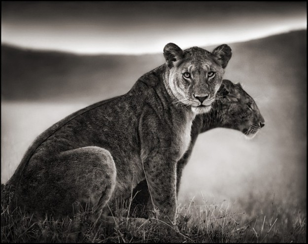 Nick Brandt Sitting Lionesses