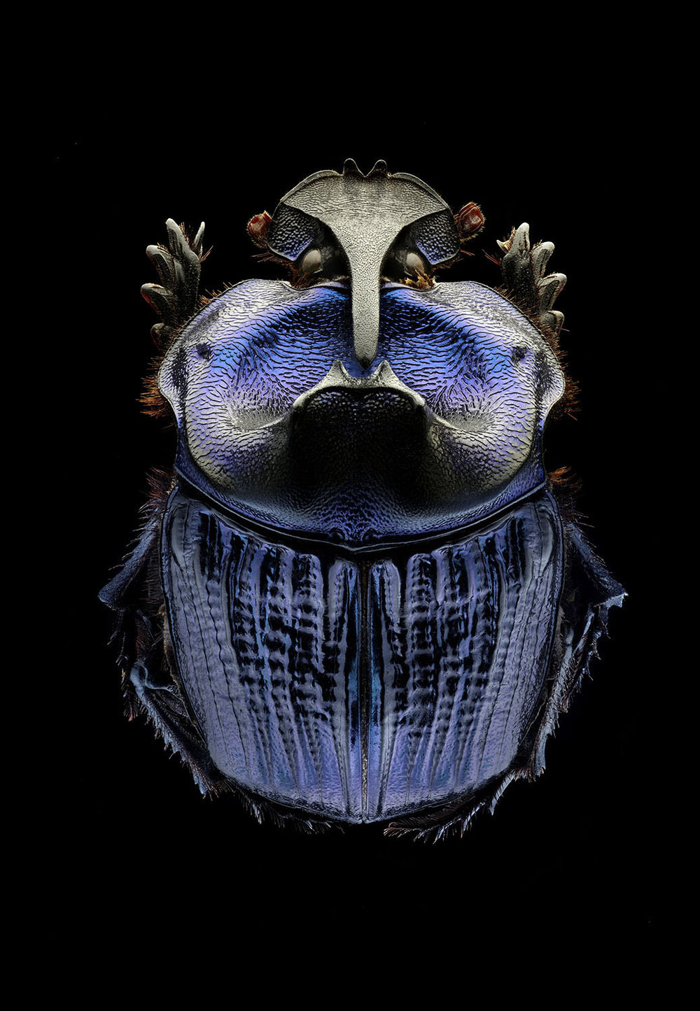 Amazonian Purple Warrior Scarab