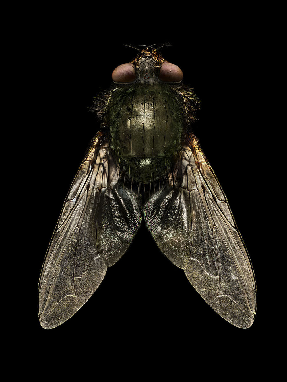 Blow Fly_1980MB.jpg
