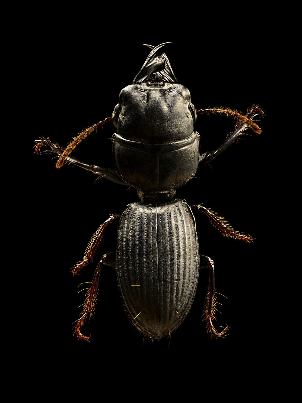Burrowing Ground Beetle_875MB.jpg