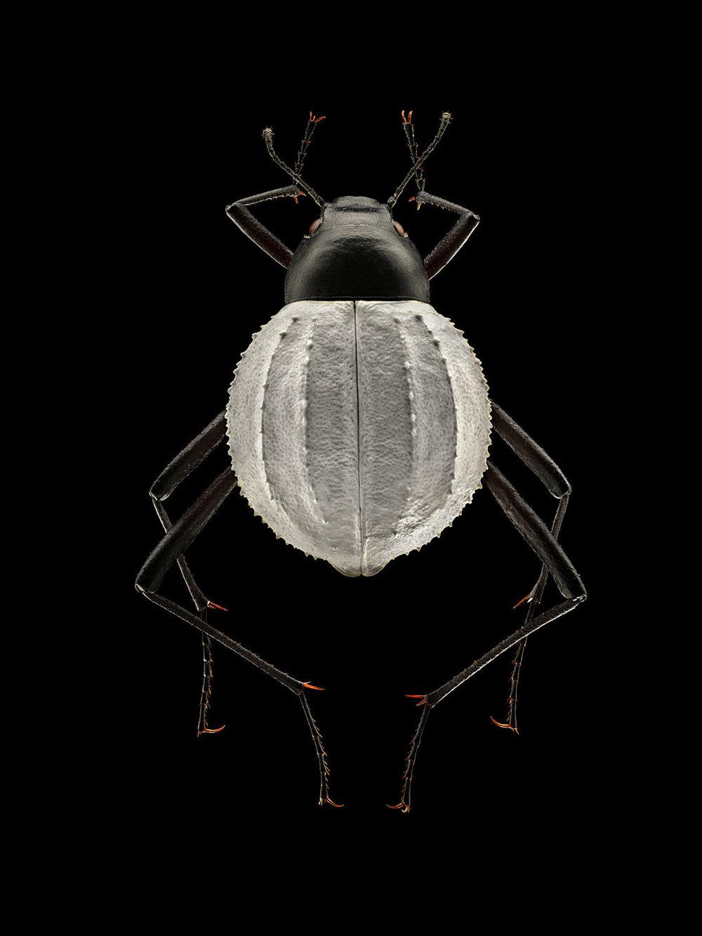 Darkling Beetle_828MB.jpg