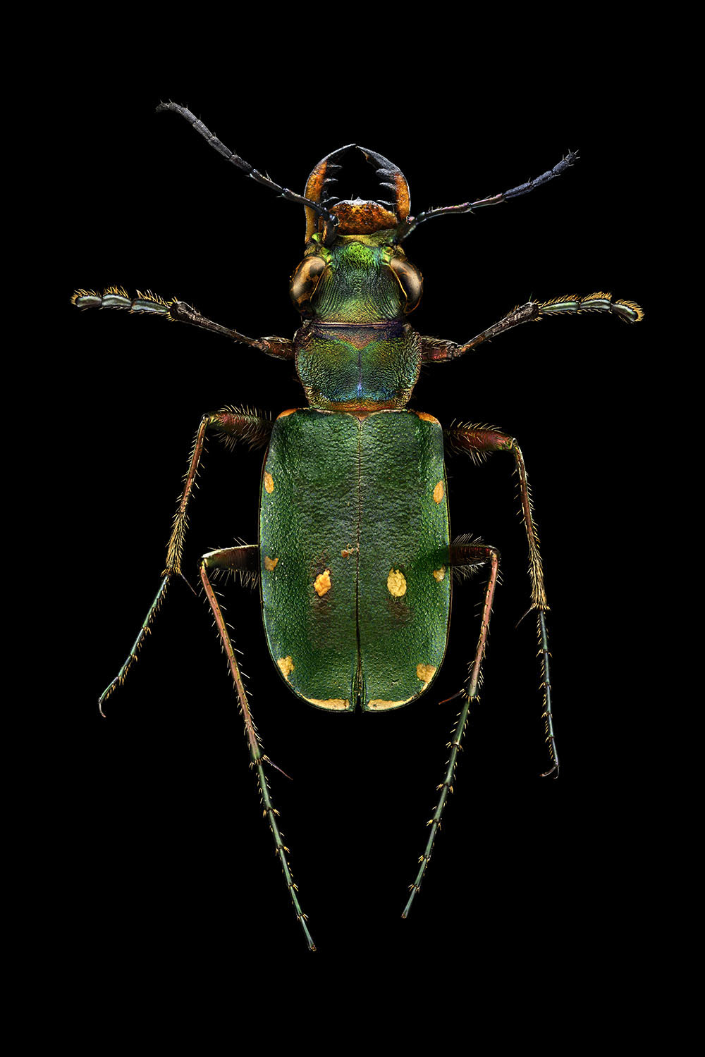 Green Tiger Beetle_4160MB.jpg