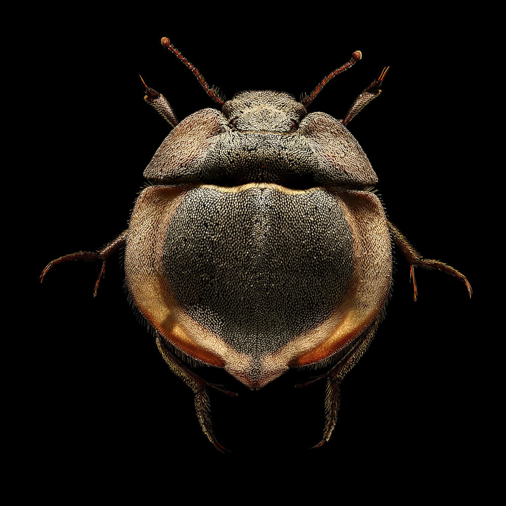 Flying Saucer Trench Beetle_2440MB.jpg