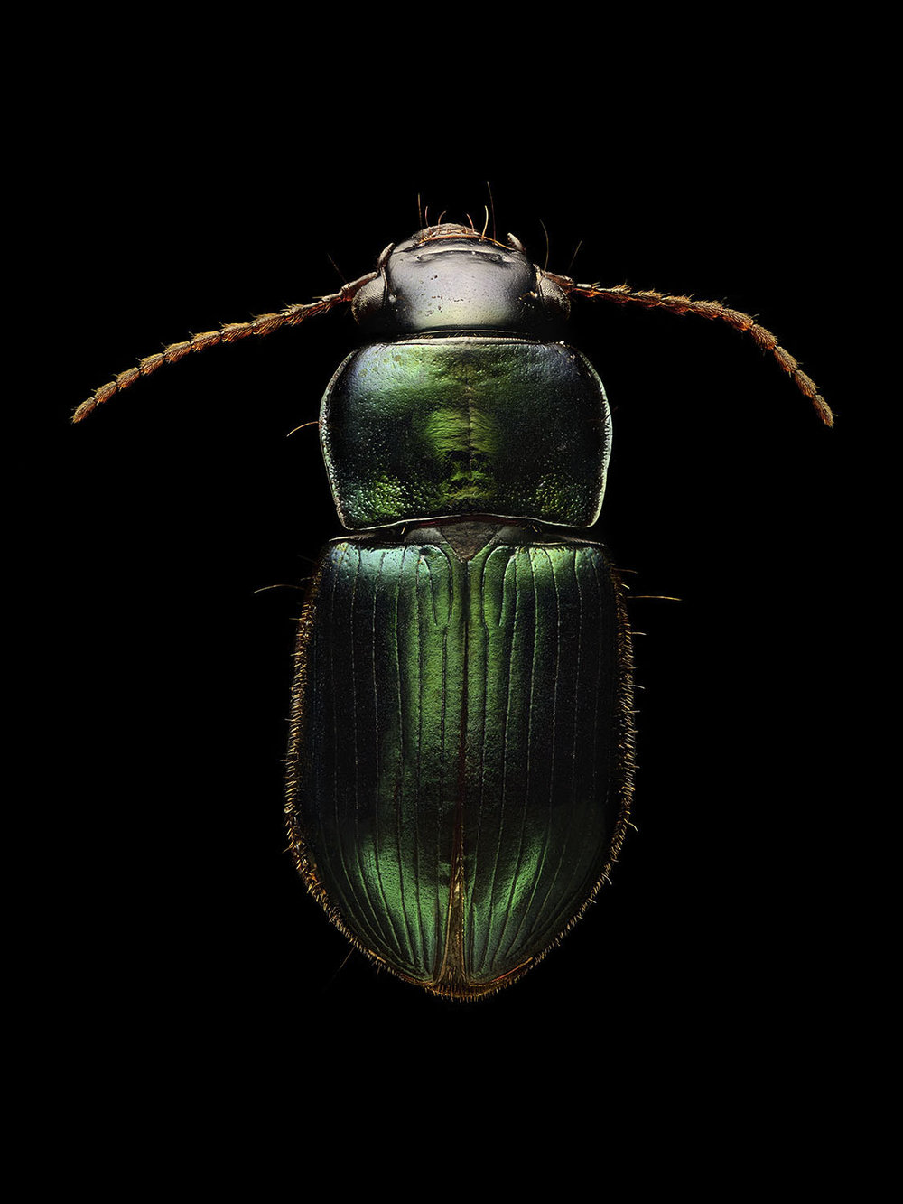 Ground Beetle_1170MB.jpg