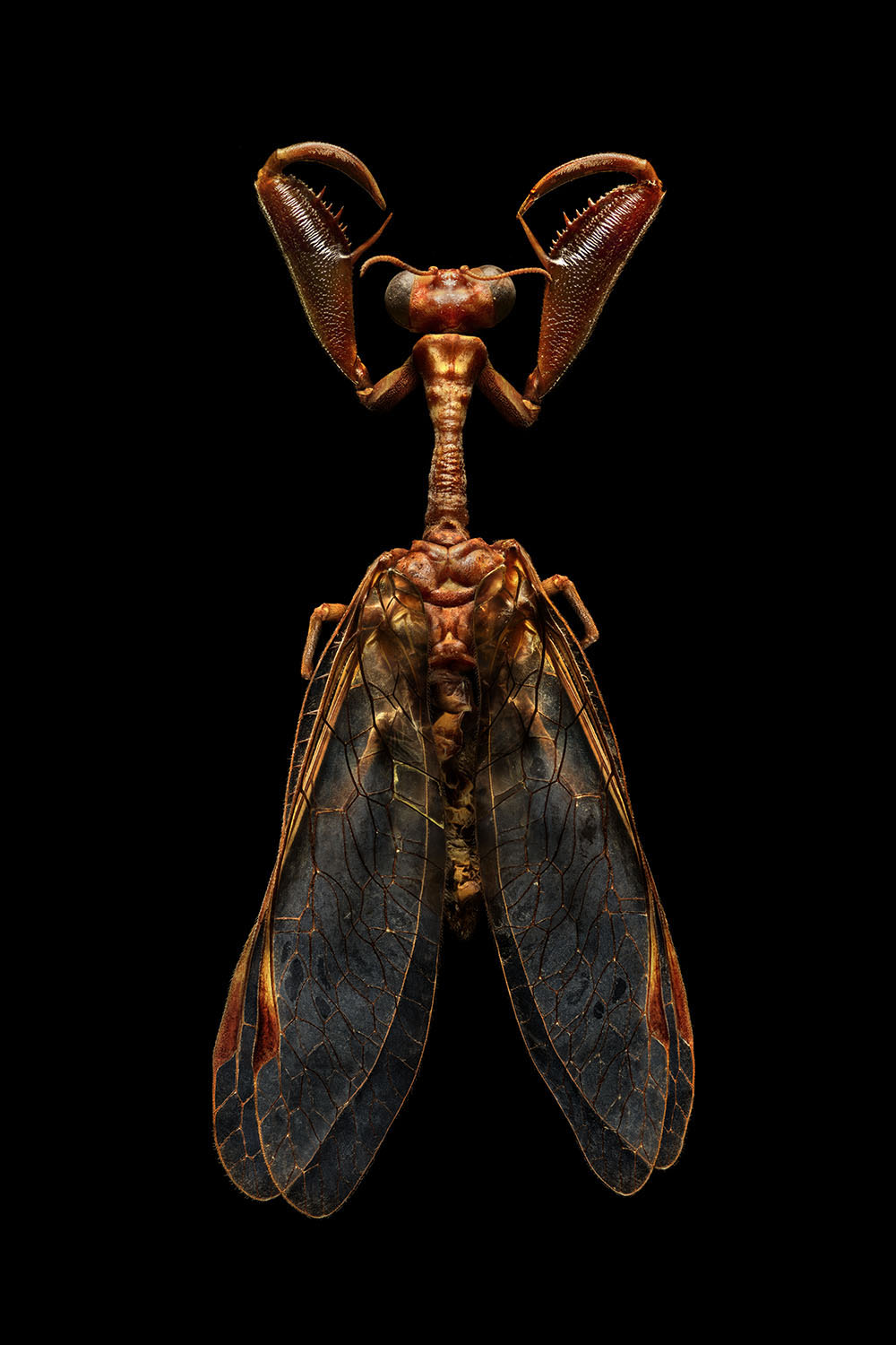 Mantis Fly_4160MB.jpg