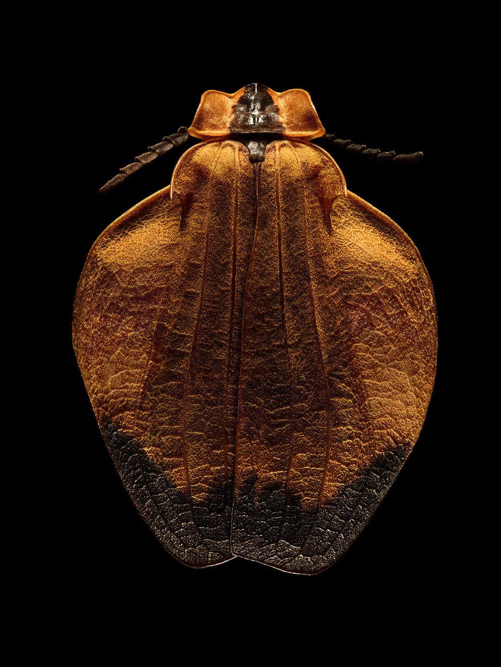 Oranged-netted Winged Beetle