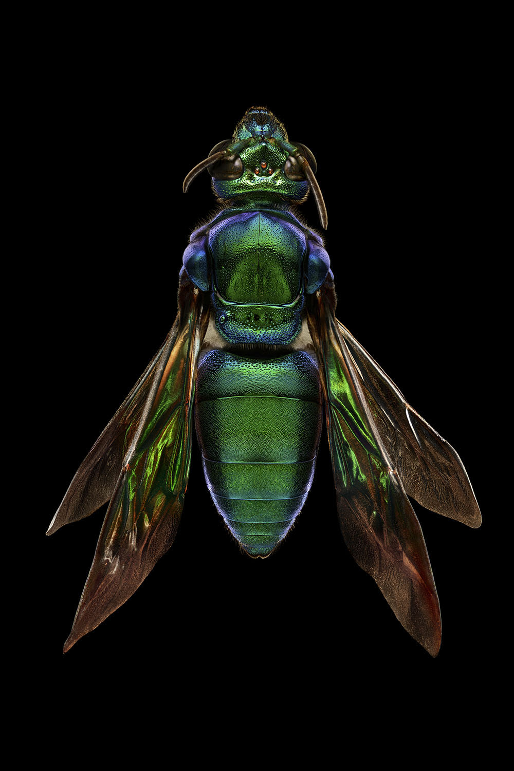 Orchid Cuckoo Bee_Top View_3240MB.jpg