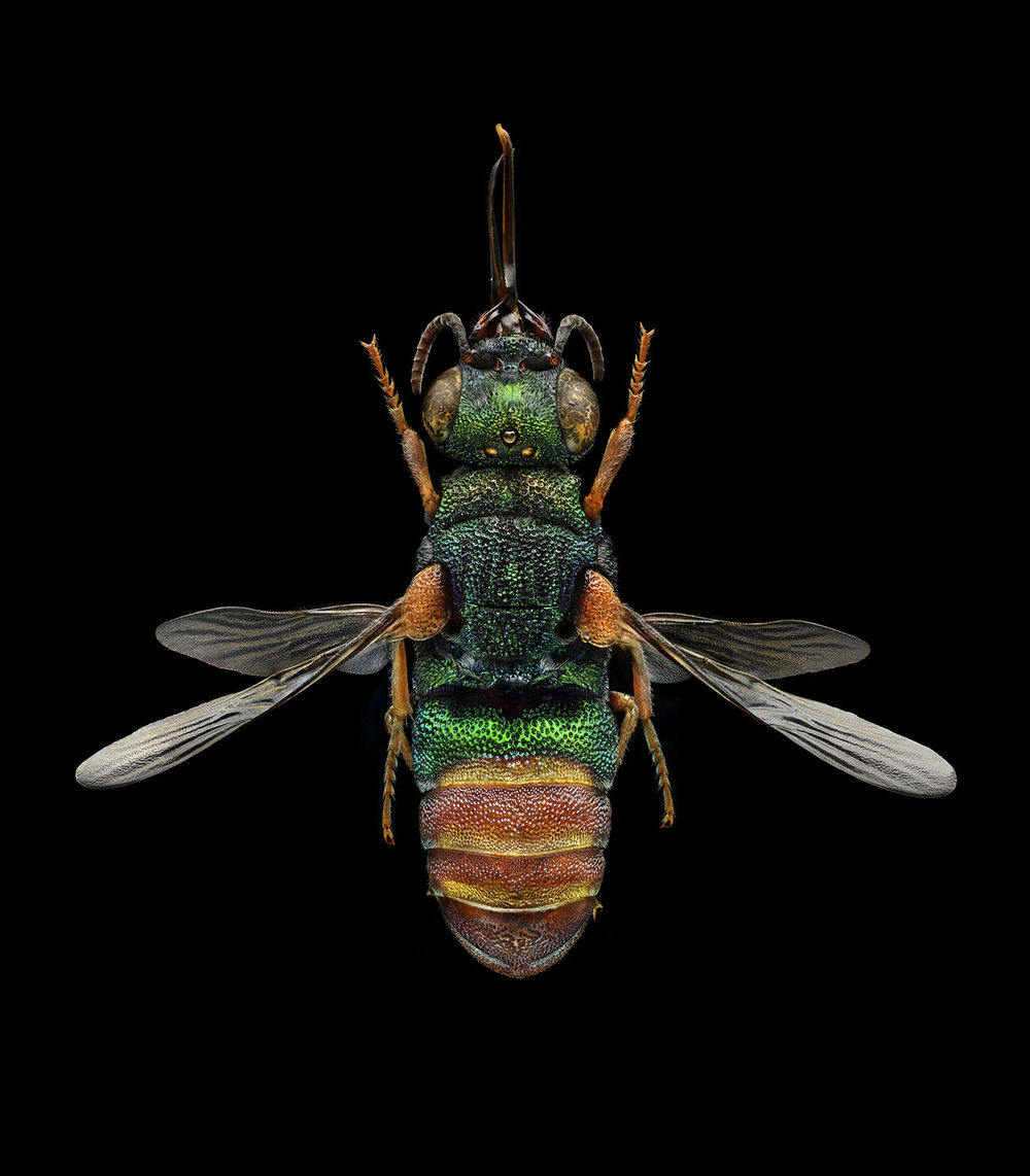 Ruby-tailed Wasp 5630MB.jpg