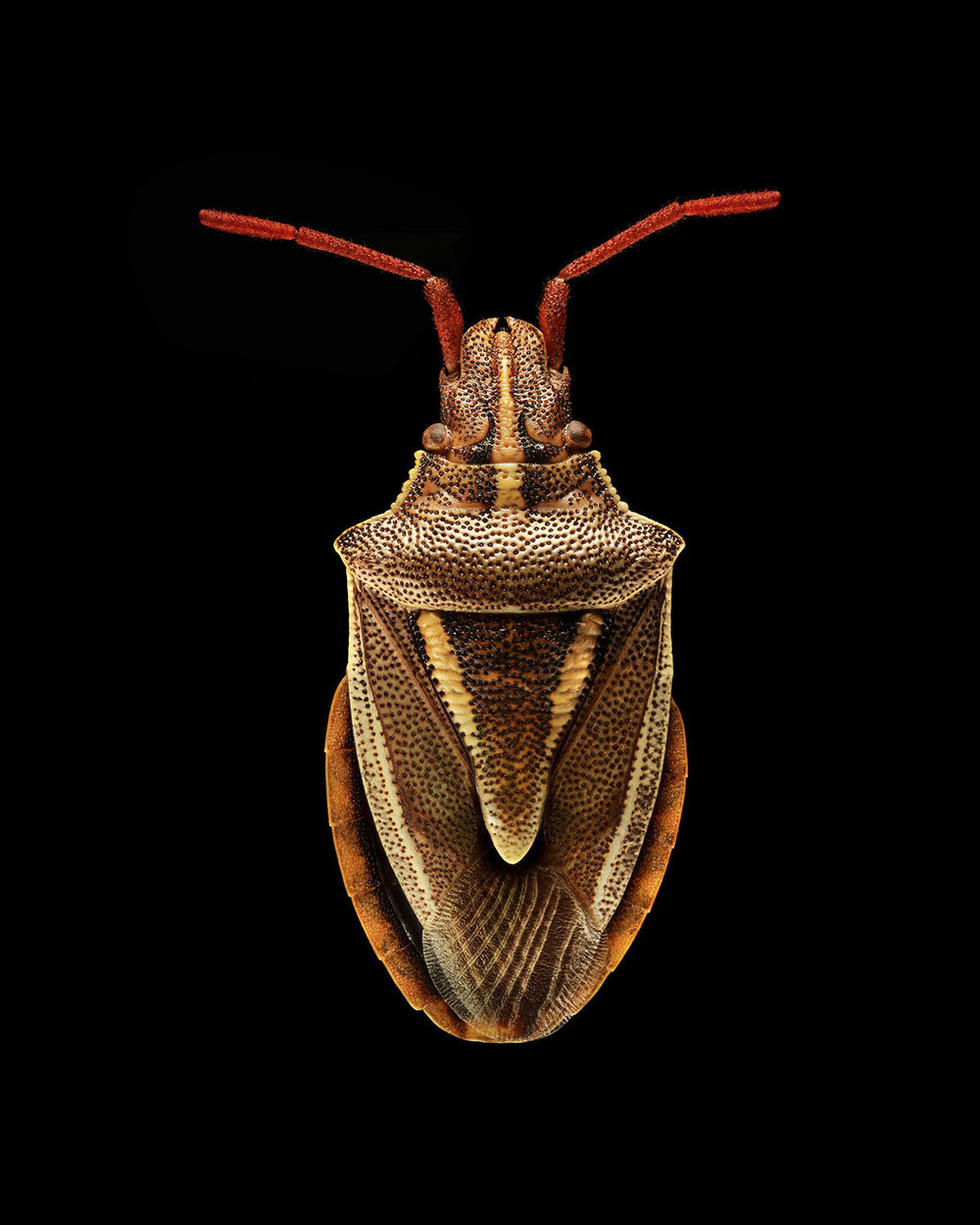 Shield Bug 2010MB.jpg