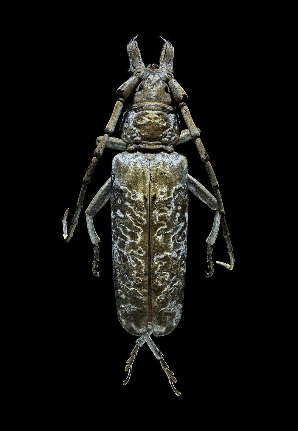 Silver Longhorn Beetle 392MB.jpg