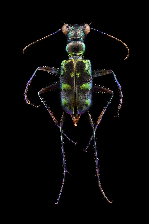 Tiger Beetle 3140MB.jpg