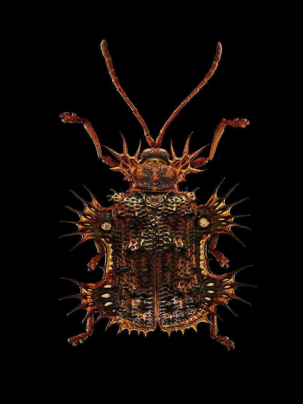 Tortoise Beetle 1790MB.jpg