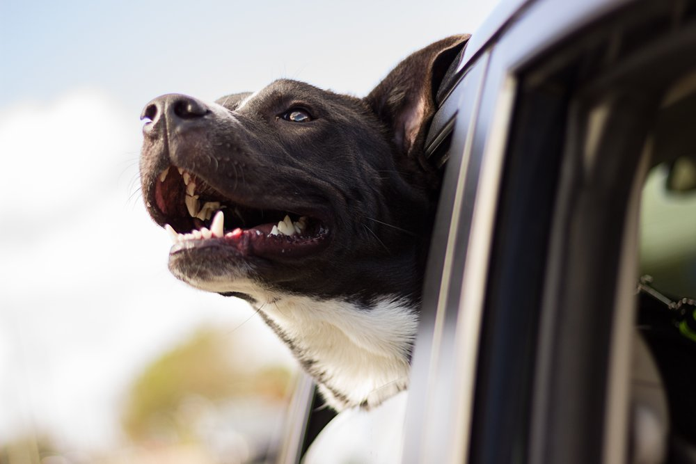 Pet Taxi - Can't get to us during our hours to drop off or pick up your pup? Not a problem.  We offer a pet taxi service to help get your pup to the farm or back home after their stay.starting at $30.00See additional pricing info