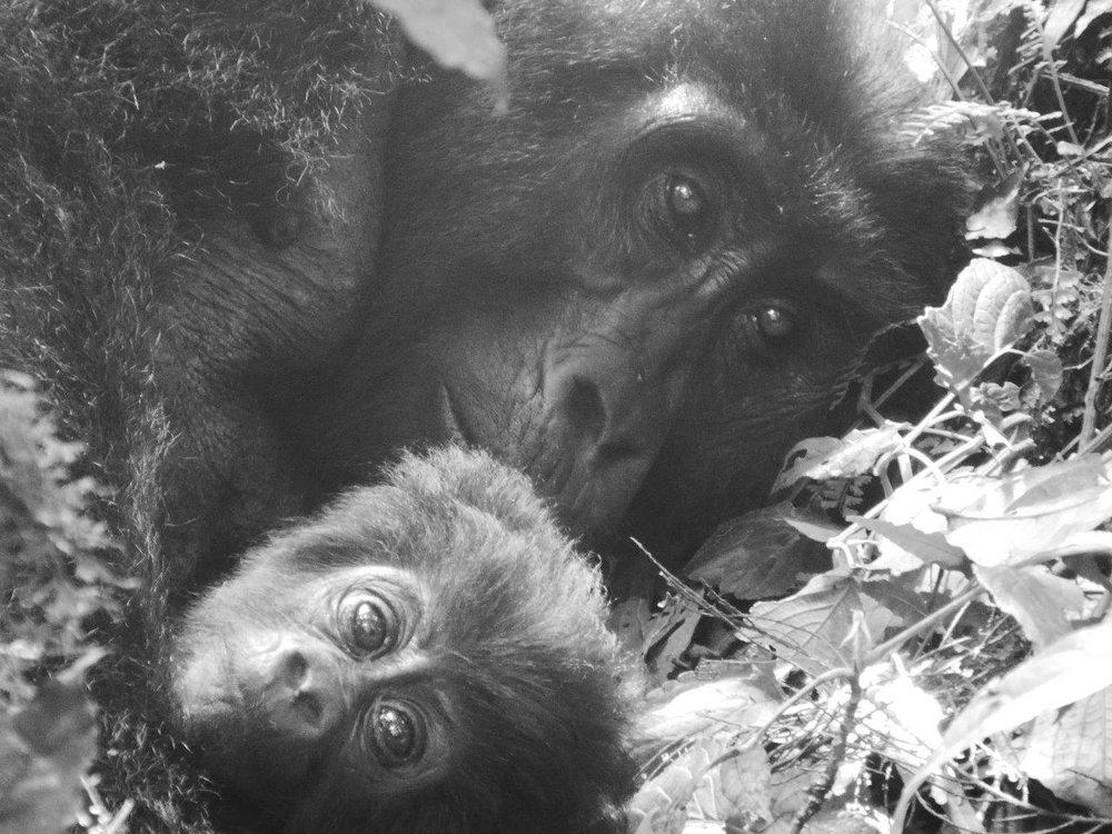 Gorilla female and her baby.jpg
