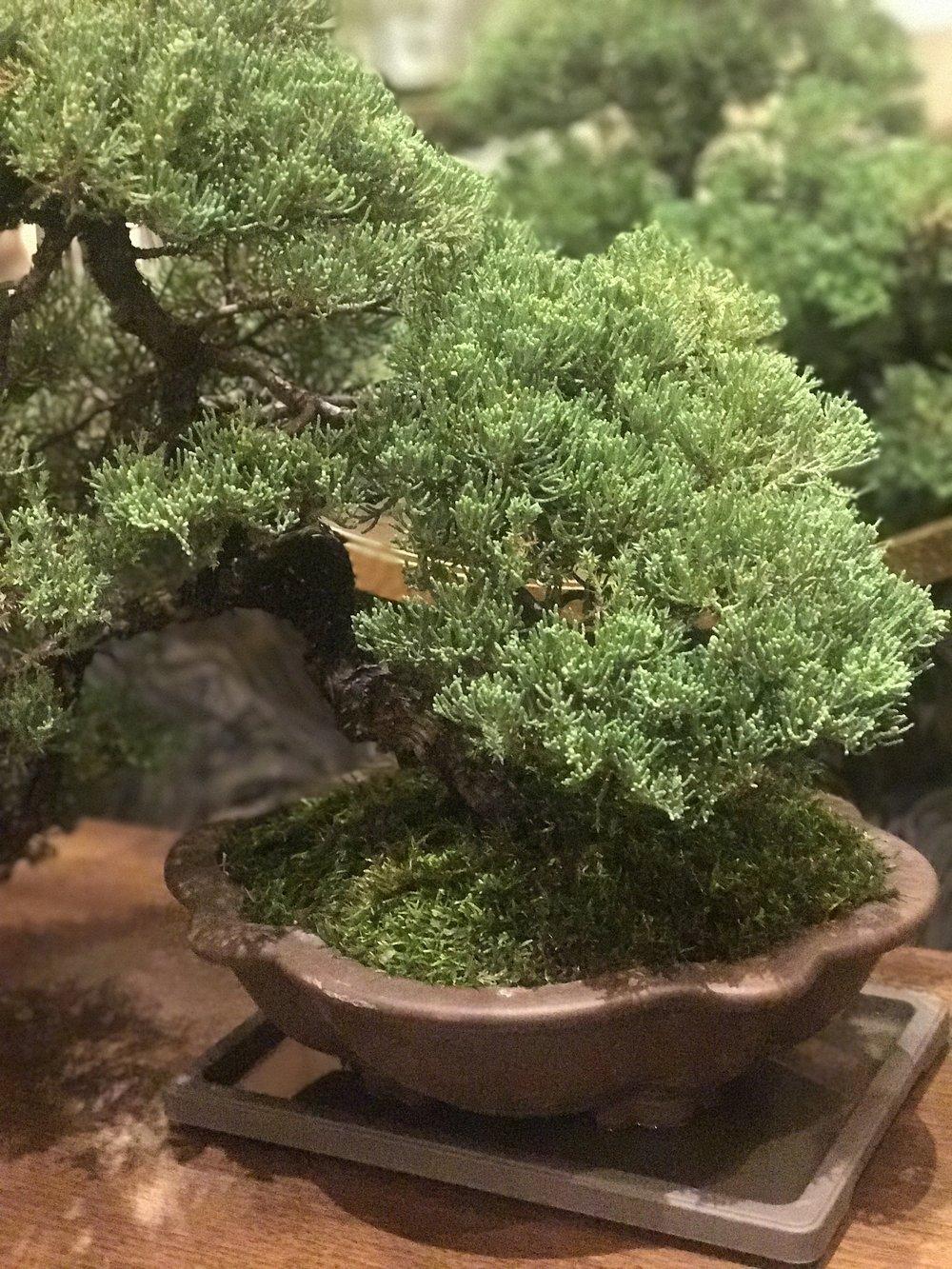 Bonsai Tree At the Currey and Company showroom