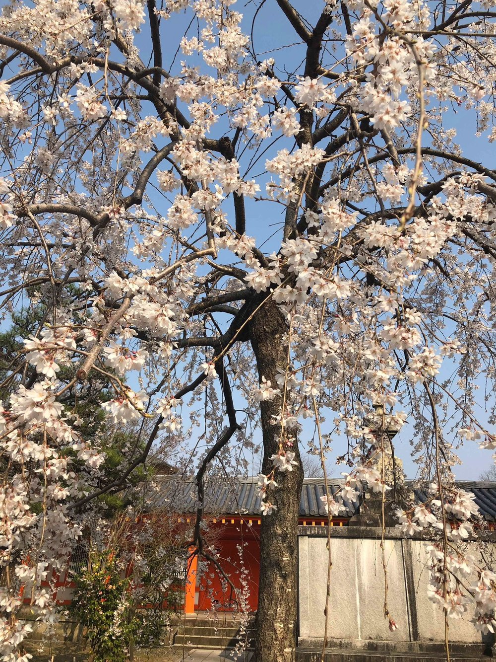 The beautiful white cherry blossoms usually decorate trees in early April.