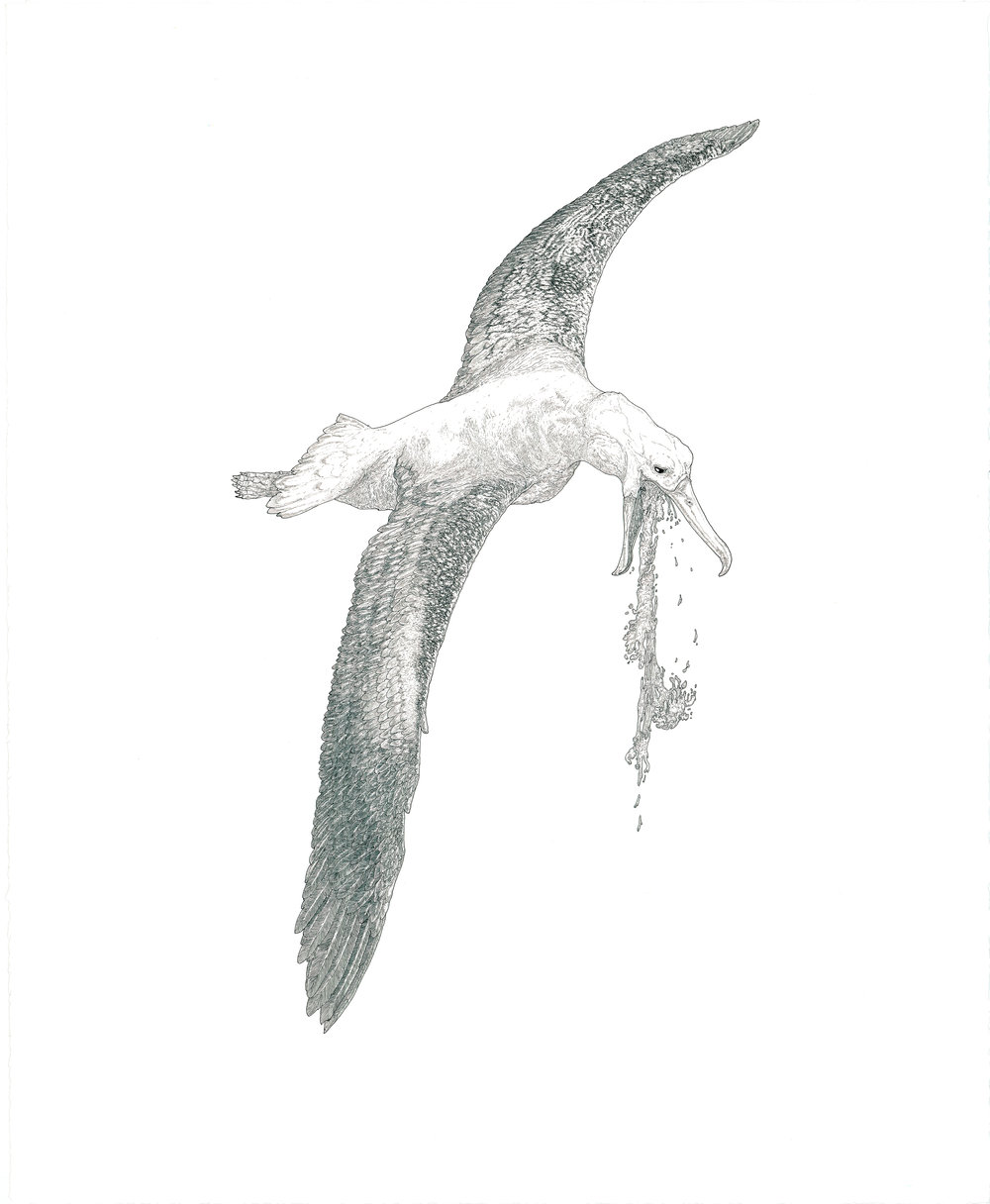 albatross, ink on paper, 27in. x 22in., 2012