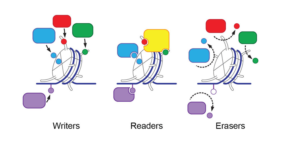 Enzymes that catalyze the addition (writers) or removal (erasers) of reversible chemical modifications to DNA and histones. These modifications can be specifically recognized by proteins (readers) that are recruited to regulate downstream chromatin processes.   (Image by Alexey Soshnev)