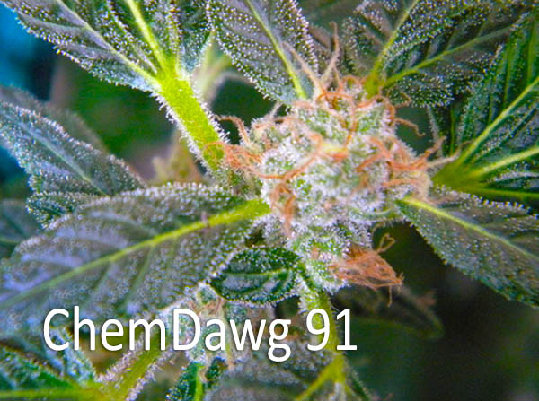 - ChemDog 91 AROMA: Pine-sol and jet fuel FLAVOR: Elements of Lemon EFFECTS: ChemDawg 91 is a very popular all-around strain that provides a cerebral and uplifting high. It is both for enhancing mood and social anxiety. Also used for chronic pain, inflammation, glaucoma, insomnia, chemotherapy, anorexia, PTSD, anxiety, depression, multiple sclerosis, arthritis and muscle spasms. It will reduce pain throughout the body, including muscle soreness and neuropathic pain.