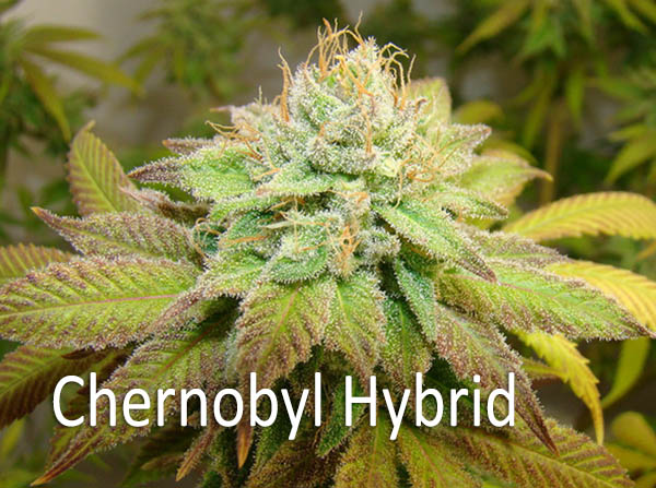 - Chernobyl AROMA: Light floral citrus FLAVOR: Sweet taste, reminiscent of sage and lime with a definitively citrus finish EFFECTS: Exremely potent. Chernobyl is a cerebral, mellow and relaxing high great for calming your nerves. It is used by many medical marijuana patients for its ability to fight mental disorders including depression, PTSD, chronic stress, and even anxiety. Chernobyl is also used to help calm symptoms related to tremors, nerve pain, and nausea.