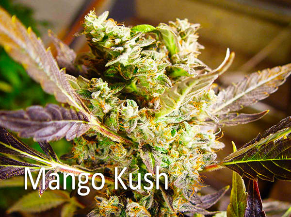 - Mango Kush AROMA: Ripe sweet mango FLAVOR: Sweet mango EFFECTS: Cerbral feeling Indica experience that starts slowly and comes on strong that can surprise you. Expect to feel a deep body sensation that will last a couple of hours. Great for relaxation and mild pain relief. Helps with Chronic Pain, especially in the backbone and other associated symptoms of sleep deprivation. It also is used to treat Muscle Disorders, Migraines, Insomnia and Lack of Appetite.