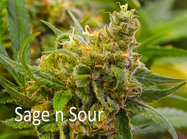 - Sage n Sour AROMA: Fuel-pine and citrus FLAVOR: Spicy EFFECTS: Happy, energetic and euphoric high. Clear-headed high that will make you feel activated and social with feelings of creativity and motivation. This is accompanied by a slowly creeping smooth mild body buzz that is relaxing and not sedative.it has strong ocular effects, solid appetite stimulation, gives a boost of energy, and some slight numbing pain relief. Also for migraines or tension headaches, and chronic anxiety or stress.