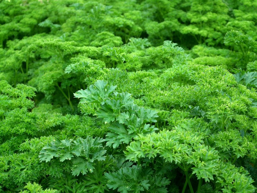 parsley-seasoning-greens-salad-60560.jpeg