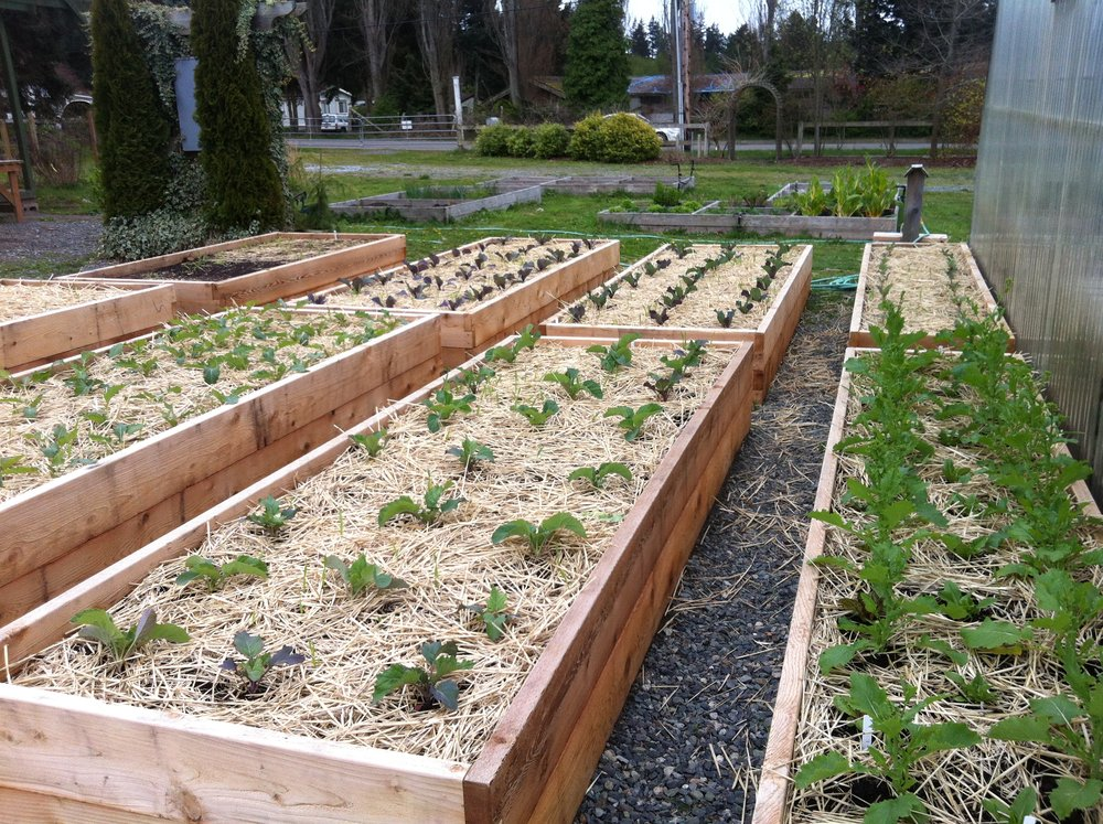 A layer of straw protects the soil from light frosts and helps to insulate late fall plantings of mustard, lettuce and kale.