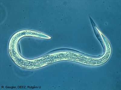 A microscopic nematode. Photo from Rutgers University