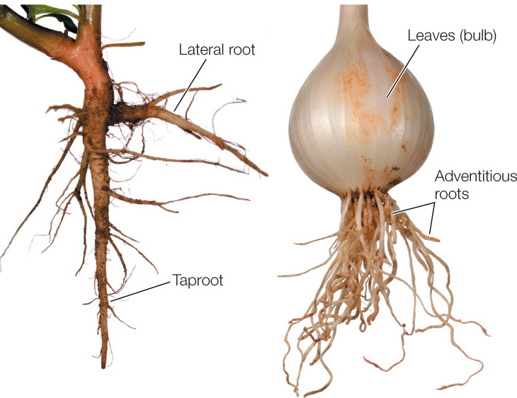 Types of root systems. Photo by David McIntyre