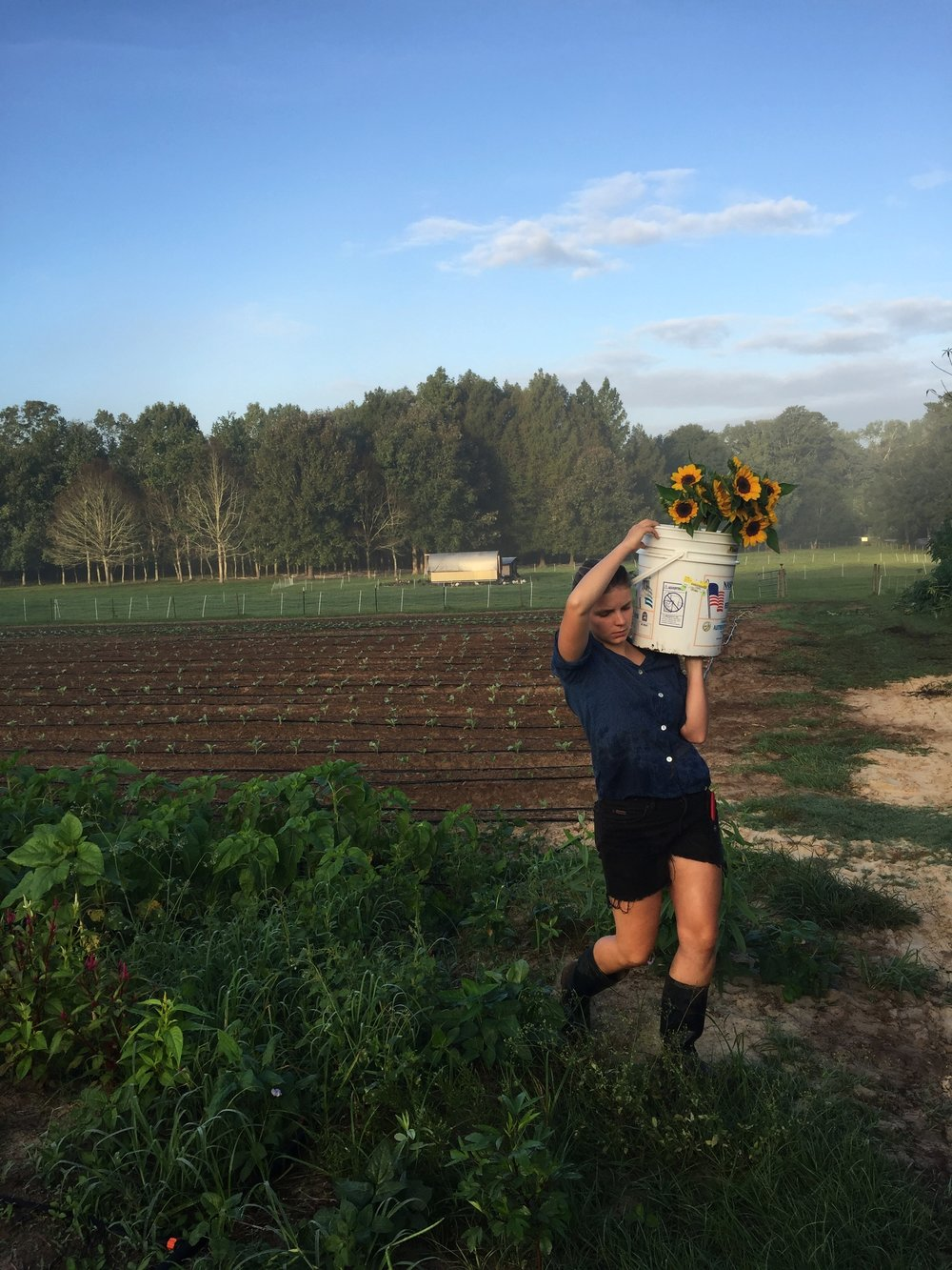 Emily harvesting sunflowers for market on a hot September day. Fall in Florida is much like its summers - hot, humid, and on the verge of rain.