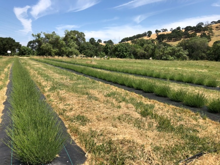 One way to address the weed problem is to first rout them out, then lay a tarp over the bare ground to prevent weeds from regrowing - as  Soul Food Farm  in Vacaville, CA does here. The farmer concentrates compost on the soil between the rows, which in turn nourishes the lavender.